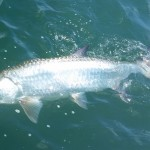 flashing tarpon