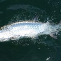 Tarpon Fishing Video – June, 2015 – Anna Maria Island