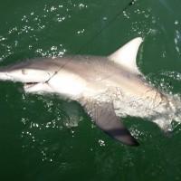 Anna Maria Island Shark Fishing – July 6, 2015 – Captain Aaron Lowman