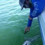 anna maria black tip shark release