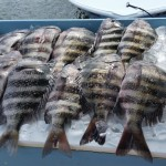 sheepshead catch
