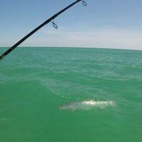 Anna Maria Island Fishing Report – June, 2017