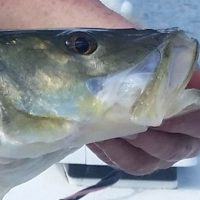 Snook On Artificial Lures- April 2019
